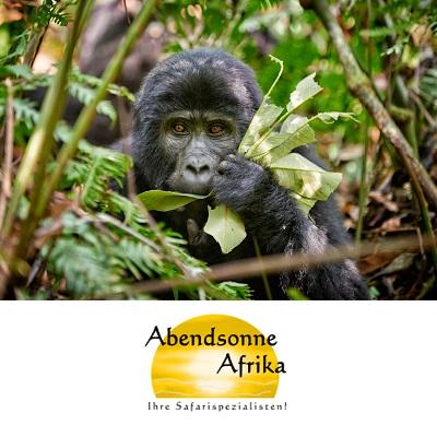 Uganda/Ruanda – Schimpansen und Berggorillas